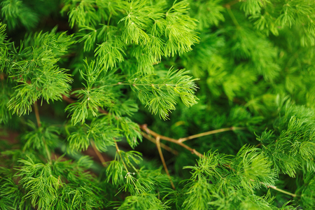siberian pine: Coniferous nature background. Larch branch close up. Vibrant green color.