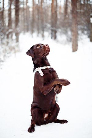 Pretty brown Labrador Retriever in winter forest
