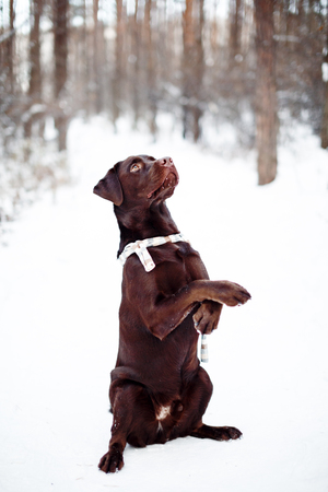 12 month old: Pretty brown Labrador Retriever in winter forest