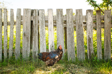 natural cock: Cock walking near fence ath the farm in sunny day Stock Photo