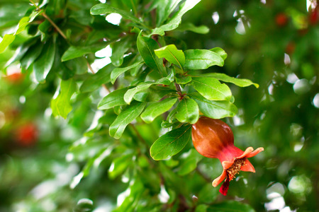 Branch of pomegranate tree with red pomegranate flowers, selective focus
