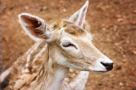 Close-up of young deer head, deer at the nature