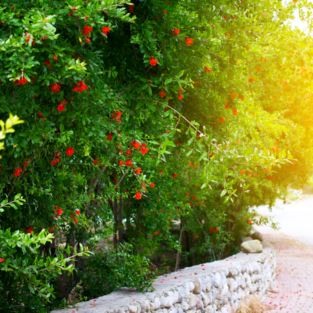 Garden of pomegranate trees with red pomegranate flowers, selective focus