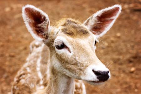 Close-up shot of a young deer head