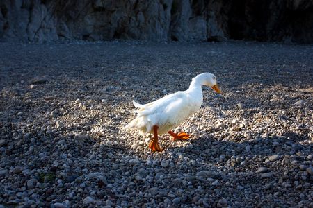 White duck walking on a stone pebble beach, nature concept