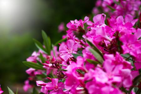 Pink flowers close-up, nature background, selective focus Standard-Bild
