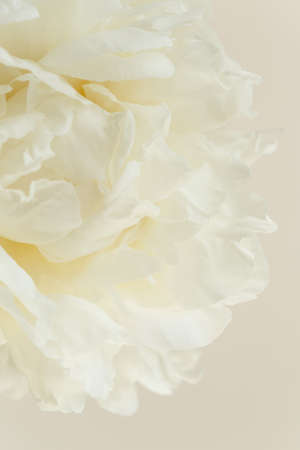 Close-up of white creamy flower petals of peony, innocence and femininity concept, abstract background