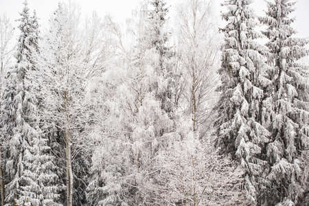 Winter landscape with snowy pines and fir trees in fairytale forest