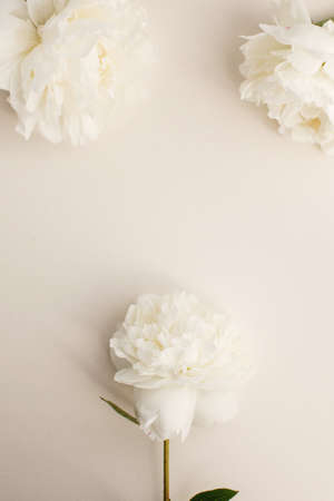 Simple flat lay flower background of white peonies over pastel background, spring and summer season flowers Stock Photo