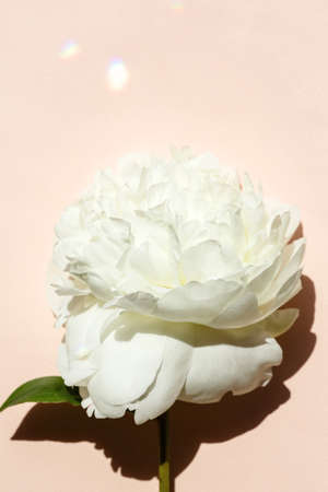 Flat lay with white peony flower close-up on pastel pink color background