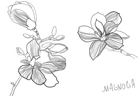 Hand drawn botanical vector illustration of magnolia flowers in graphic style.  Black and white with line art on white backgrounds. Magnolia branch with blossom. Vector greeting card, flowershop signboard or showcase