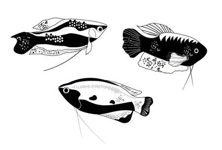 Honey, spotted and moon gourami in engraving style.Trichogaster labyrinth fish from South Asia . Aquarium inhabitant, underwater world.Vector trendy ink print for fabric,pet shop flyer.Black and white 矢量图像