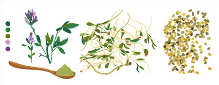 Alfalfa flowering plant,sprouts,beans and spoon with powder.Vegan organic food from lucerne.Grain and seeds.Doodle vector poster for cafe menu.Livestock fodder.Herbs for alternative medicine. Ilustração