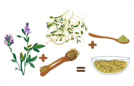Alfalfa purple therapeutic flowers,beans,seeds.Vegan organic products.Lucerne sprouts and powder.Spoon with grain.Hand drawn doodle vector poster for cafe menu.Livestock fodder.Herbs for medicine