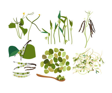 Collection of different stages of growth fresh Mung Bean and sprouts with leaves. Flowers, pods, seeds. Spoon with green gram. Hand drawn doodle vector poster for cafe menu