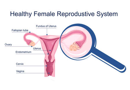 Healthy female reproductive system. Medical schema with uterus and cervix anatomy. Magnifying glass zooms ovary with eggs.Scientific poster.Woman power.Internal organ.