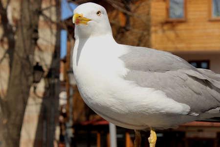 bulgaria: Beautiful seagull in Bulgaria