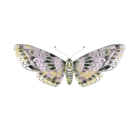 Single butterfly isolated on white. Hand drawn moth for summer design.