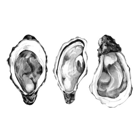 Sketch of pacific oysters isolated on white. Vector illustration of edible mollusc. Hand drawn seafood for restaurant menu, french recipes, flyer or invitation. Opened raw shellfish. 向量圖像