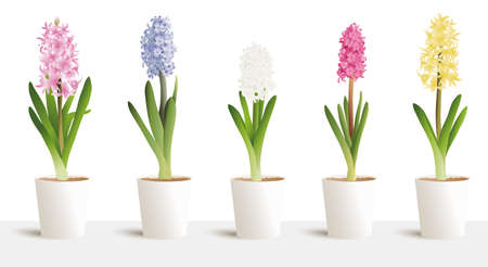 Hyacinth isolated on white big vector 3d set in white pots. Interior design, jacinth five colours white, yellow, blue, pink, purple. Hyacinthus orientalis. litwinowii, spring symbol, women day.