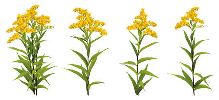 Solidago chilensis Asteraceae 3d big vector set goldenrod ragweed. Bouquet compilation isolated Yellow golden flower realistic officinal plant Allergy symbol. Wedding decoration Medical antibacterial