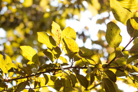 plum tree: Lime green plum tree leaves in sunlight Stock Photo