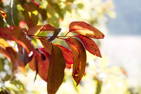plum tree: Red plum tree leaves Stock Photo