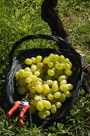 tannins: Malvasia grape harvest Stock Photo