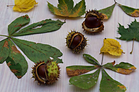 aesculus hippocastanum: European chestnuts,Aesculus hippocastanum photographed on white background. Stock Photo