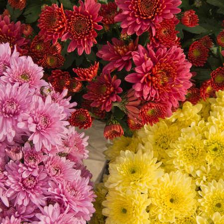 leucanthemum: chrysanthemum button,  Chrysanthemum leucanthemum  close up background image Stock Photo