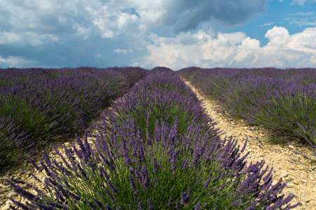 lavendin: Lavender field in plateau de valensole , Provane , France Stock Photo