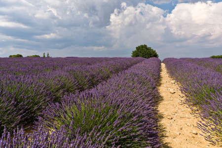 lavendin: Lavender field with tree