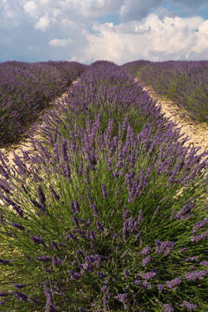 lavendin: Lavender field in plateau de Valensole ,Provence, France Stock Photo
