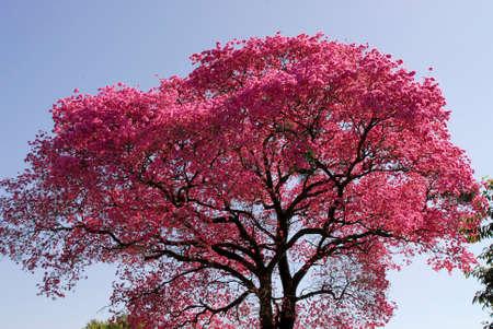 Pink Lapacho tree in Asunci?n,Paraguay