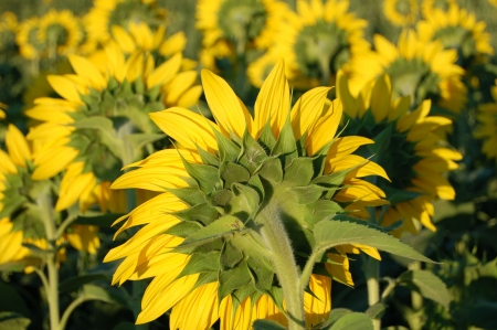 Hungarian sunflowers taken before sunset time Stock Photo
