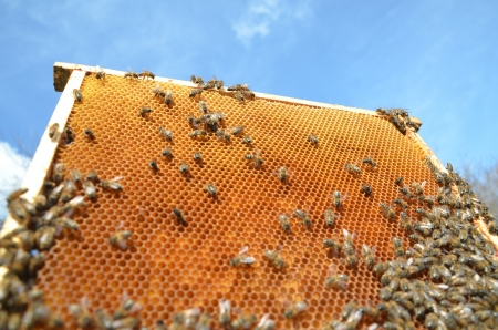Bees on honeycomb frame against blue sky