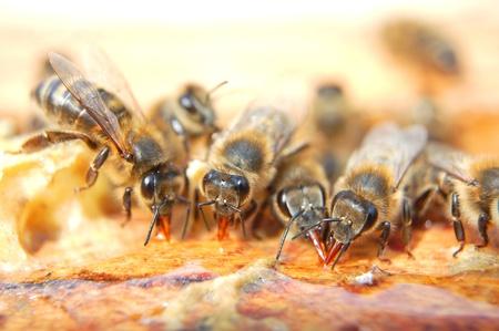 Primo piano di api che mangiano miele