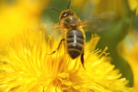 closeup of a bee on dandelion flower
