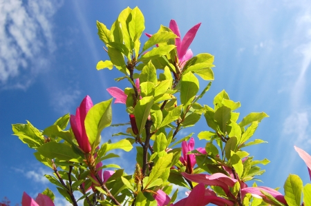 Beautiful pink magnolias against blue sky photo