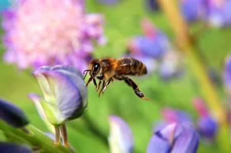 closeup of a bee over lupine flower