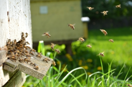 bee swarm: Plenty of bees at the entrance of beehive in apiary in the springtime Stock Photo