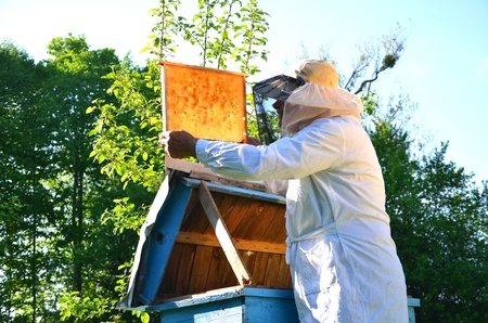 Experienced senior beekeeper working in his apiary in the springtime Stock Photo - 19786926