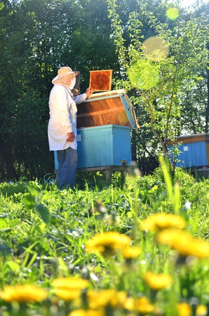 Experienced senior beekeeper working in his apiary in the springtime Stock Photo - 19786952