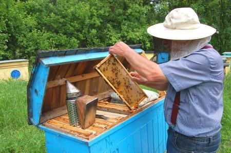 Experienced senior beekeeper working in his apiary