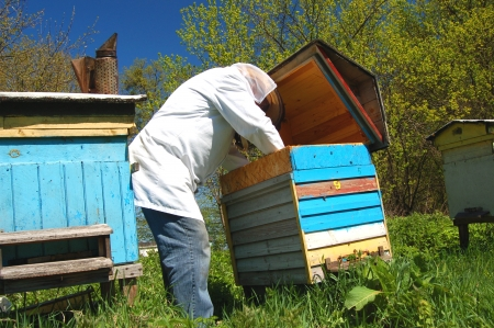 Experienced senior beekeeper working in his apiary Stock Photo - 19787245