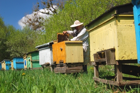 Experienced senior beekeeper working in his apiary Stock Photo - 19787244