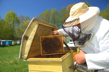 Experienced senior beekeeper working in his apiary Stock Photo - 19786965