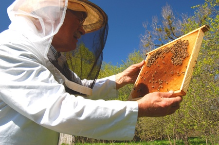 Experienced senior beekeeper working in his apiary Stock Photo - 19786959