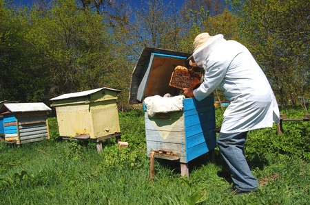 Experienced senior beekeeper working in his apiary Stock Photo - 19787286