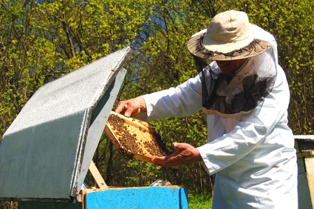 Experienced senior beekeeper working in his apiary Stock Photo - 19787237